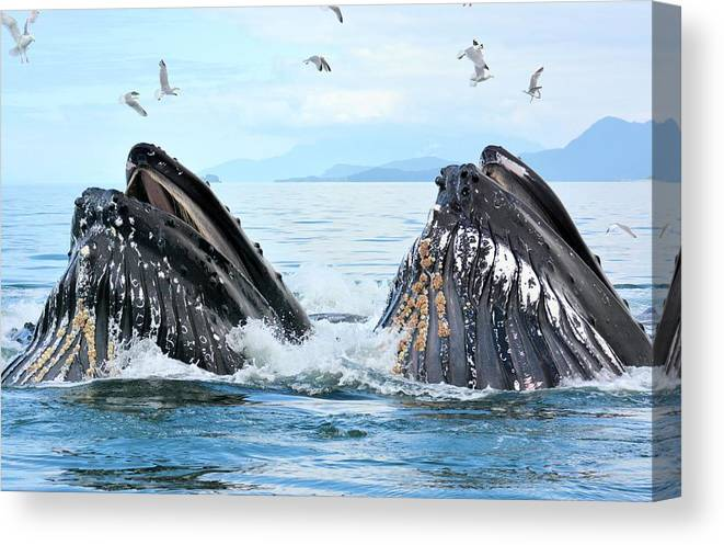 Canvas Print featuring the photograph Humpback Whales In Juneau, Alaska by Tahomawind Photography