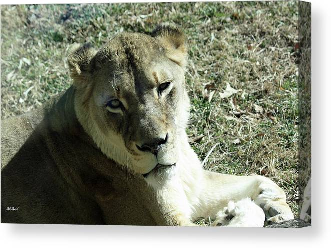 Maryland Canvas Print featuring the photograph Lioness Peering by Ronald Reid