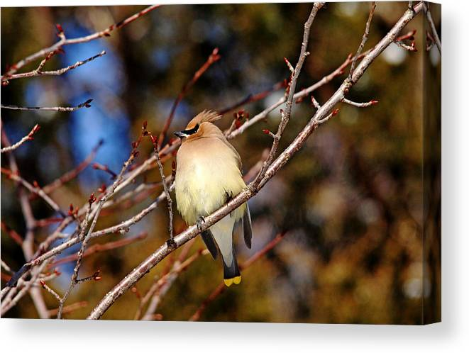 Cedar Waxwing Canvas Print featuring the photograph Silky Beauty by Debbie Oppermann