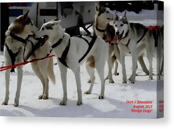 Announcement Canvas Print featuring the painting Sledge Dogs H A by Gert J Rheeders