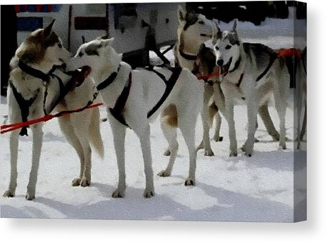 Announcement Canvas Print featuring the painting Sledge Dogs H B by Gert J Rheeders