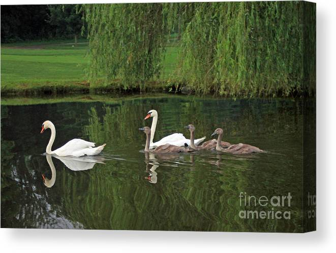 Mute Canvas Print featuring the photograph Swans At Two Months by Steve Gass