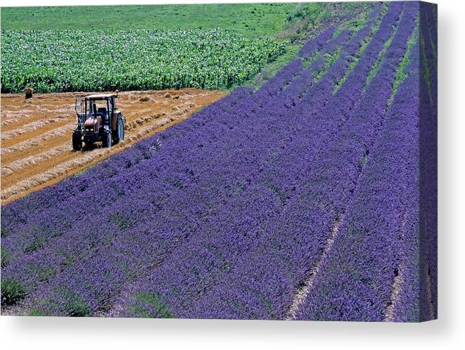 Agricultural Canvas Print featuring the photograph Tractor In A Lavender Field by Sami Sarkis