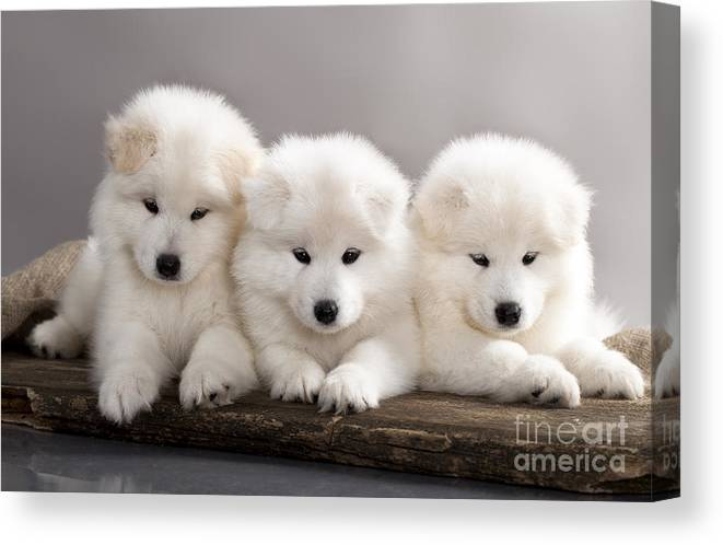 Small Canvas Print featuring the photograph Funny Puppies Of Samoyed Dog Or Bjelkier by Liliya Kulianionak