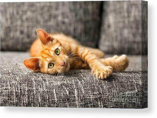 Play Canvas Print featuring the photograph Red Kitten Lying On Bed And Looking At by Lucky Business