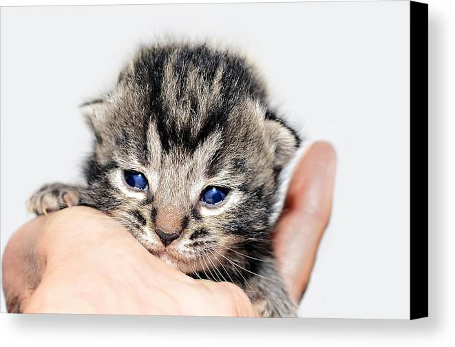Cat Canvas Print featuring the photograph Kitten In A Hand by Susan Leggett