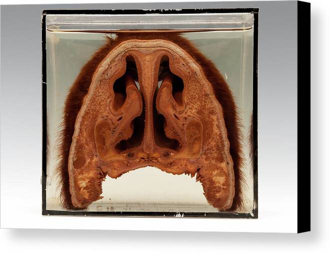 Anatomy Canvas Print featuring the photograph Bison Head by Ucl, Grant Museum Of Zoology