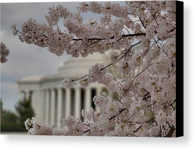 America Canvas Print featuring the photograph Cherry Blossoms With Jefferson Memorial - Washington Dc - 01134 by DC Photographer
