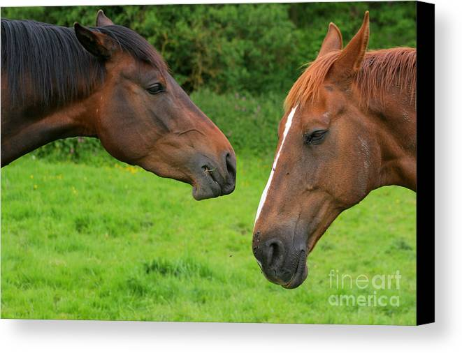 Horse Canvas Print featuring the photograph Conversations by Angel Ciesniarska