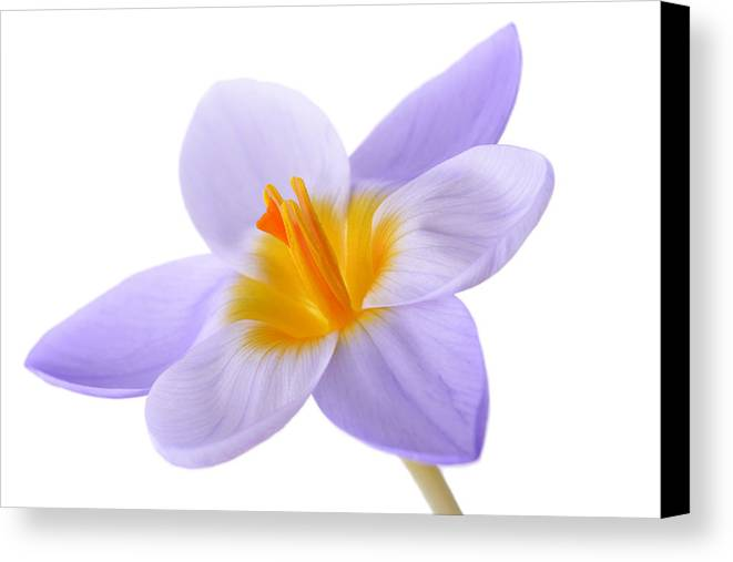 Beautiful Canvas Print featuring the photograph Crocus by Mark Johnson