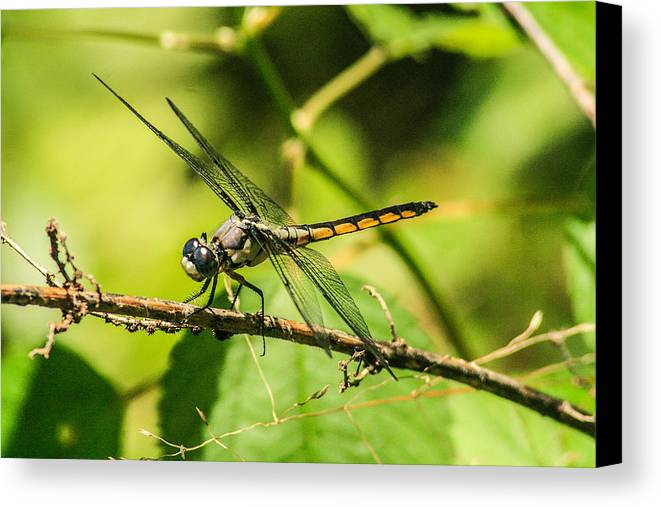 Dragonflies Canvas Print featuring the photograph Dragonfly by Steven Taylor