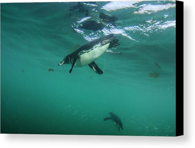 Bird Canvas Print featuring the photograph Galapagos Penguin (spheniscus Mendiculus by Pete Oxford
