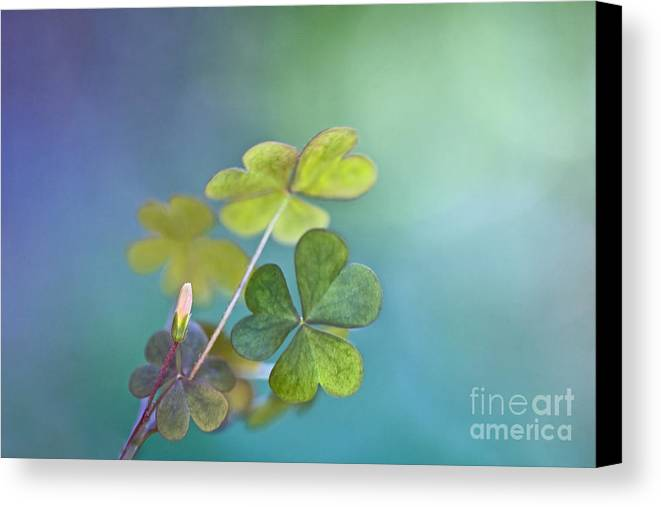 Oxalis Canvas Print featuring the photograph In Love With Nature by Maria Ismanah Schulze-Vorberg