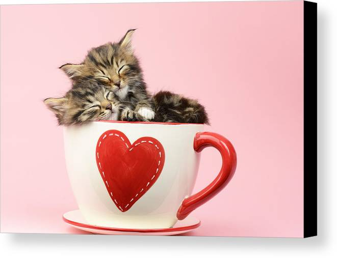Tabby Canvas Print featuring the photograph It Must Be Love by Greg Cuddiford