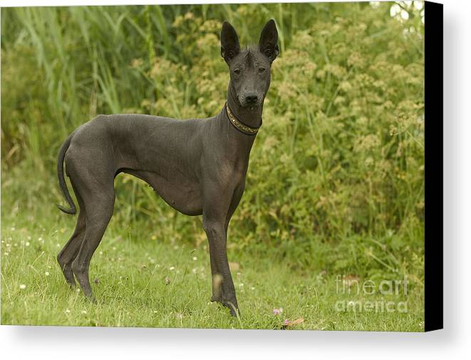 Mexican Hairless Canvas Print featuring the photograph Mexican Hairless Dog by Jean-Michel Labat