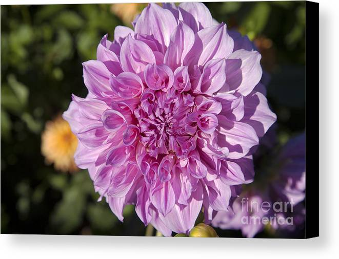 Bloom Canvas Print featuring the photograph Pink Dahlia by Peter French