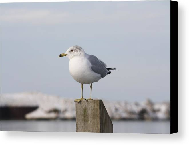 Canvas Print featuring the photograph Seagull by Ward Spoon