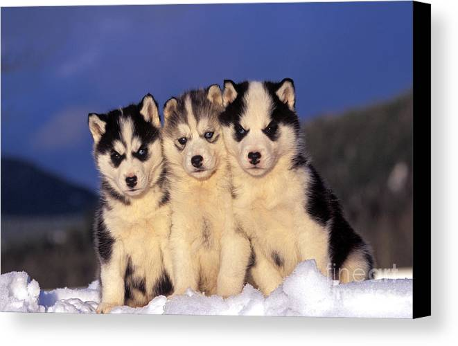 Siberian Husky Canvas Print featuring the photograph Siberian Husky Puppies by Rolf Kopfle