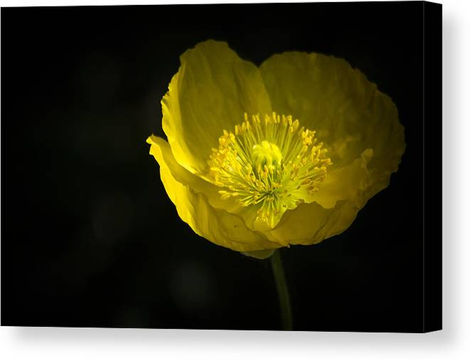 Yellow Poppy Canvas Print featuring the photograph Simple Solitude by Saija Lehtonen