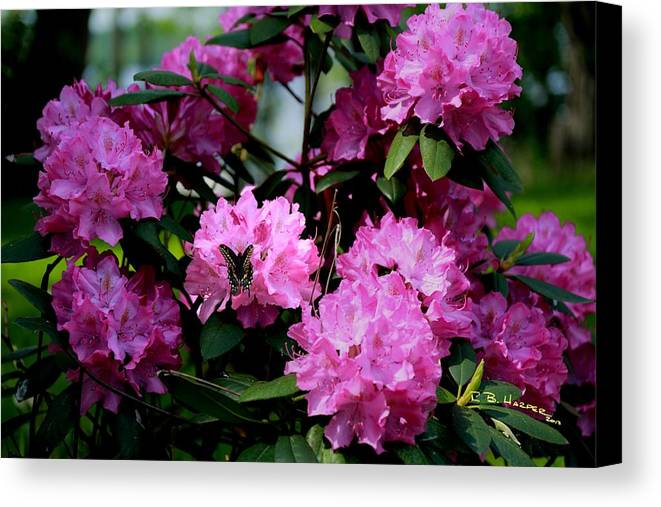 Landscape Canvas Print featuring the photograph Still Life At North Puffin - Rhododendron With Butterfly by R B Harper