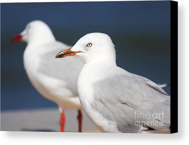 Seagulls Canvas Print featuring the photograph Two Boardwalk Gulls by Jorgo Photography - Wall Art Gallery
