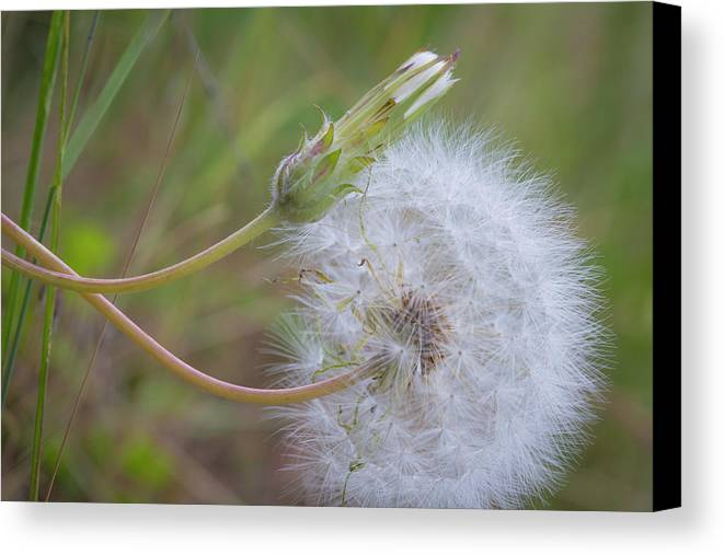 Close-up Canvas Print featuring the photograph Usa, Washington State, Wenatchee by Jaynes Gallery