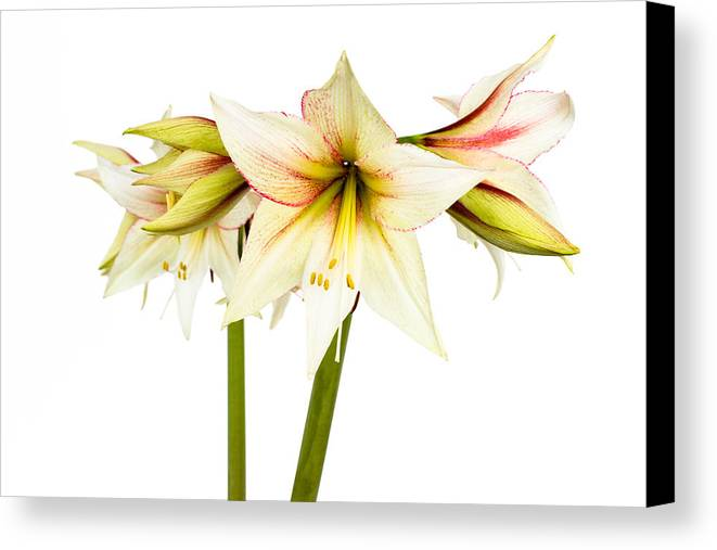Colorful Canvas Print featuring the photograph White Amaryllis Flower by Frank Gaertner