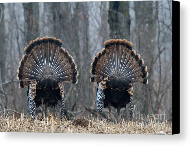 Eastern Wild Turkey Canvas Print featuring the photograph Jake Eastern Wild Turkeys by Linda Freshwaters Arndt