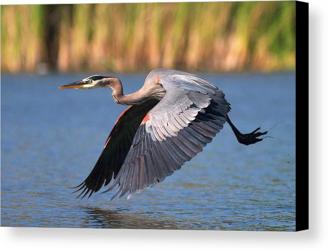 Bird Canvas Print featuring the photograph Usa, California, San Diego, Lakeside by Jaynes Gallery