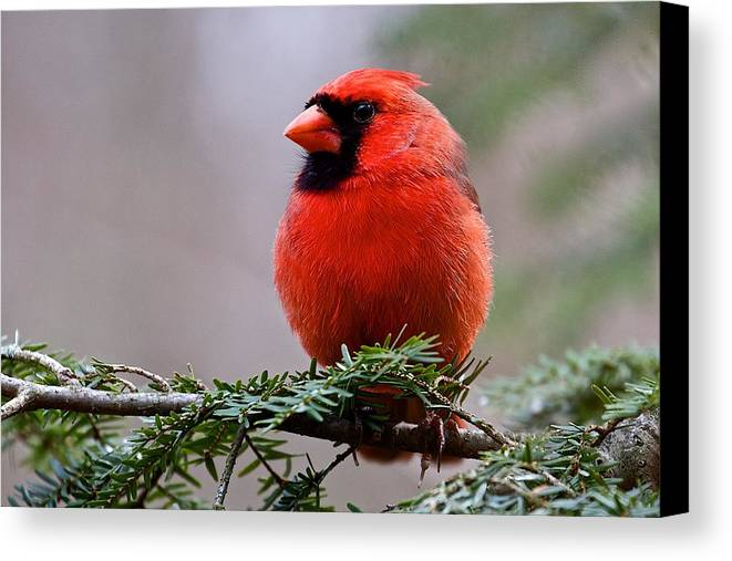 Nature Canvas Print featuring the photograph Northern Cardinal Male by Dan Ferrin