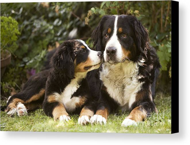 Bernese Mountain Dog Canvas Print featuring the photograph Bernese Mountain Dogs by Jean-Michel Labat