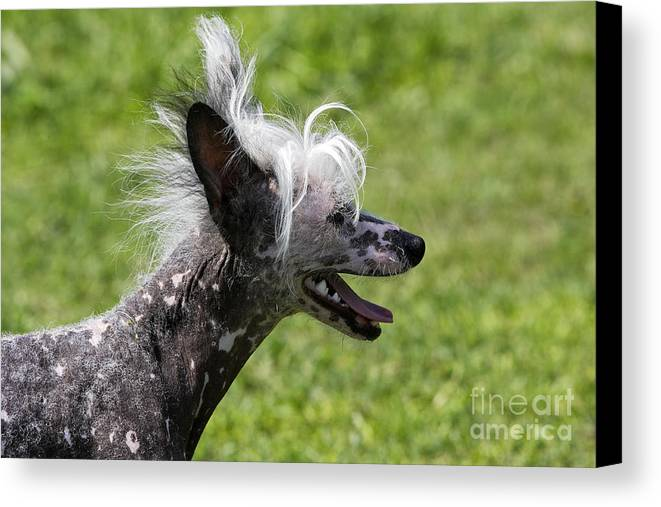 Chinese Crested Canvas Print featuring the photograph Chinese Crested Dog by M. Watson