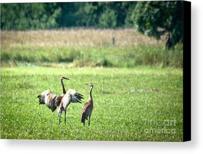 Sandhill Cranes Canvas Print featuring the photograph It Was This Big by Cheryl Baxter