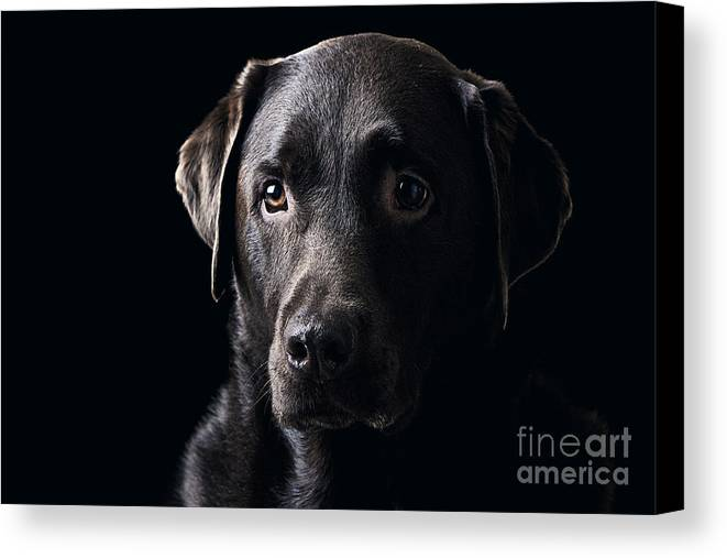 Chocolate Canvas Print featuring the photograph Low Key Chocolate Labrador by Justin Paget