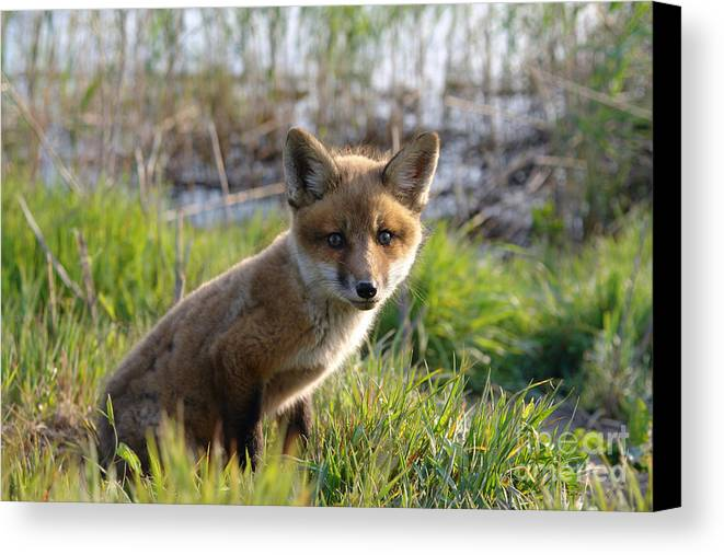 Red Canvas Print featuring the photograph Red Fox Kit by Olivier Le Queinec