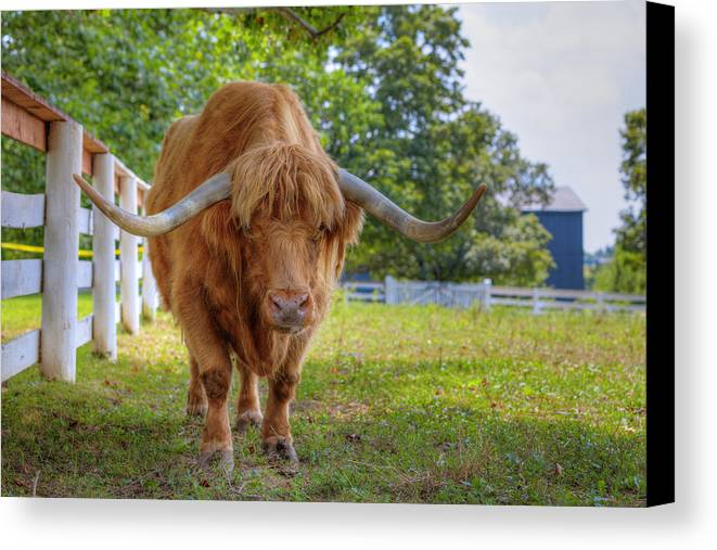 Bull Canvas Print featuring the photograph Scottish Highlander Ox by Alexey Stiop