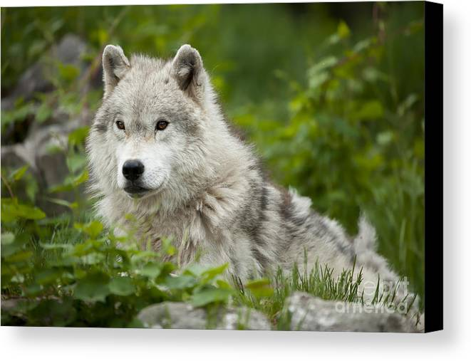 Arctic Wolf Photography Canvas Print featuring the photograph Arctic Wolf by Wolves Only