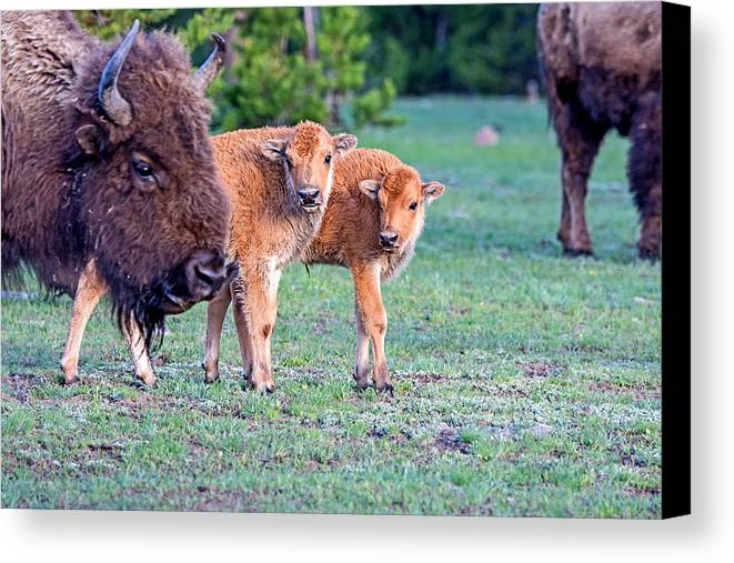 Yellowstone Canvas Print featuring the photograph Bison Babies by Elijah Weber