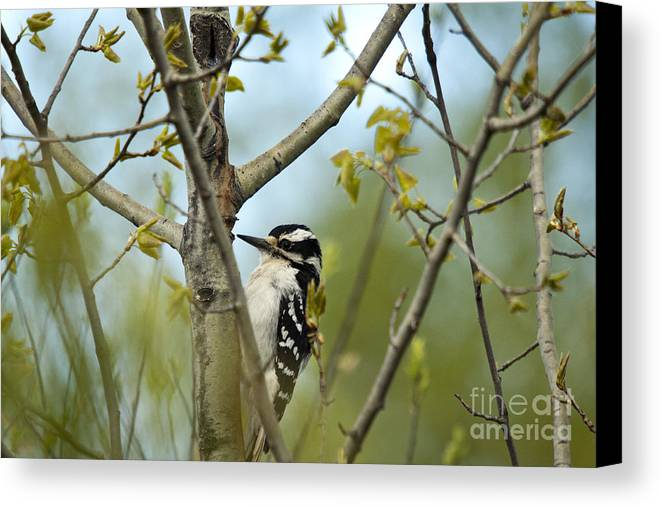 Animal Canvas Print featuring the photograph Hairy Woodpecker by Linda Freshwaters Arndt