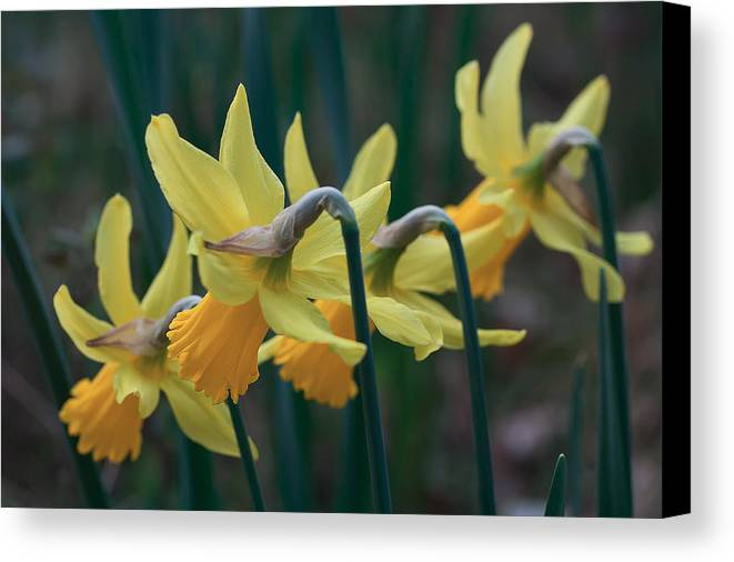 Daffodils Canvas Print featuring the photograph Spring Sunshine by Shirley Mitchell