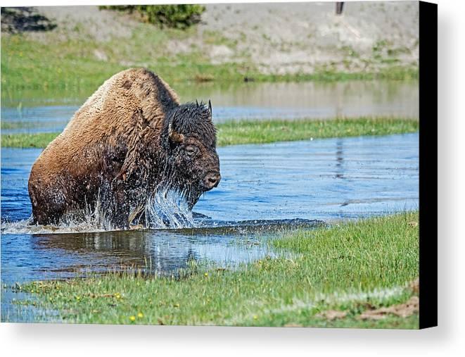 Yellowstone Canvas Print featuring the photograph Buffalo by Elijah Weber