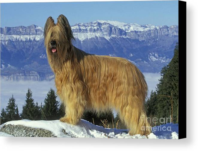 Briard Canvas Print featuring the photograph Briard Dog by Jean-Michel Labat