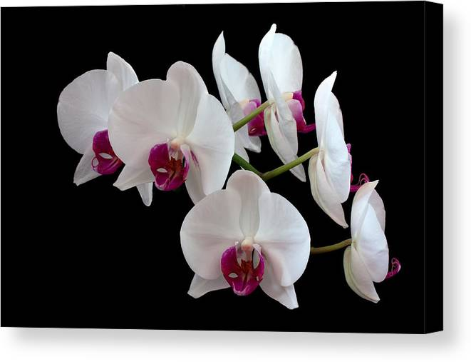 Orchid Canvas Print featuring the photograph White Orchids by Shirley Mitchell