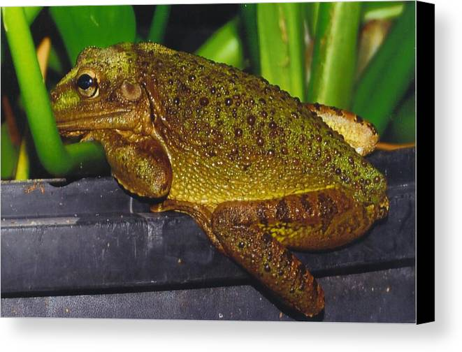 I'm Bored Canvas Print featuring the photograph Treefrog by Robert Floyd