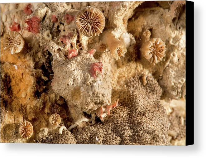 Animal Canvas Print featuring the photograph Cheilostomata Bryozoan by Natural History Museum, London