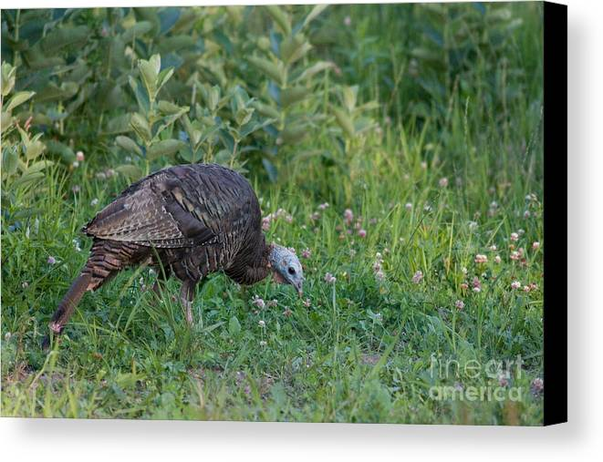 Meleagris Gallopavo Canvas Print featuring the photograph Eastern Wild Turkey by Linda Freshwaters Arndt