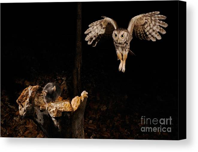 Screech Owl Canvas Print featuring the photograph Eastern Screech Owl by Scott Linstead