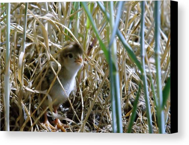Wildlife Canvas Print featuring the photograph A Baby Quail Looks Back by Jeff Swan