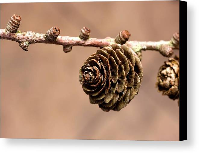 Branches Canvas Print featuring the photograph A Conifer Cone On A Tree Branch by John Short