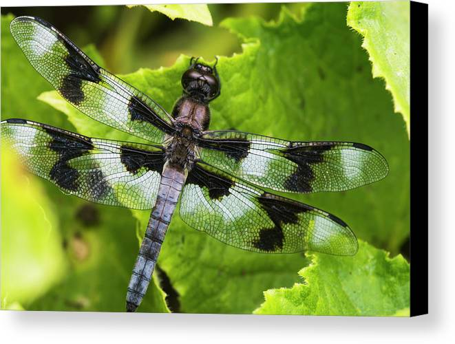 Vegetable Canvas Print featuring the photograph A Dragonfly Warms Up In A Vegetable by Robert L. Potts